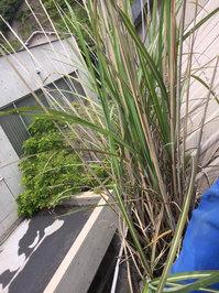 高所雨樋草・灰除去作業 屋根 雨樋 灰に生える立派な草