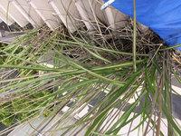 高所雨樋草・灰除去作業 屋根 雨樋 灰に生える立派な草2